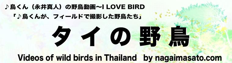 ♪鳥くん(永井真人)の野鳥動画~I LOVE BIRD      「♪鳥くんが、フィールドで撮影した野鳥たち」 タイの野鳥 Videos of wild birds in Thailand by nagaimasato.com